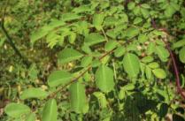 Moringabaum mit seinen Blättern